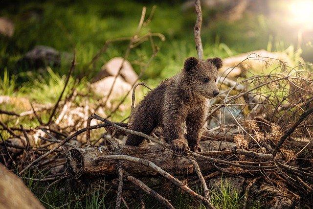 Redensarten und Sprichwörter über Tiere - Bär aufbinden