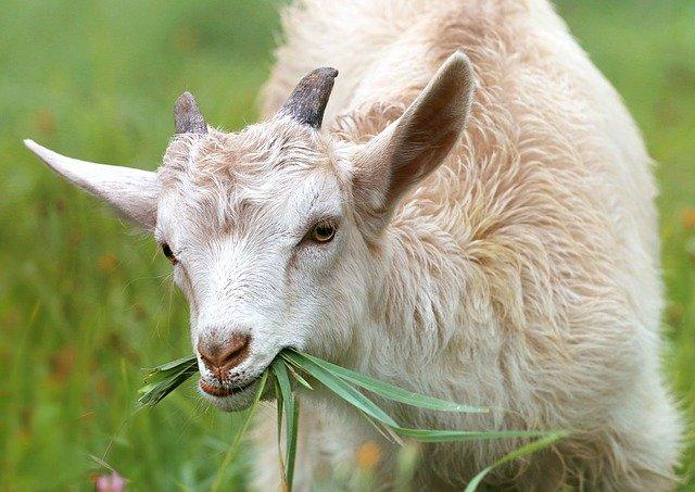 Redensarten und Sprichwörter über Tiere - Ziegenbock