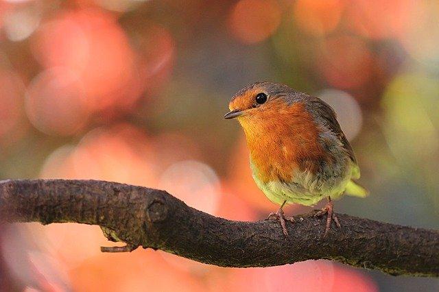 Redensart Tiere - Lockvogel
