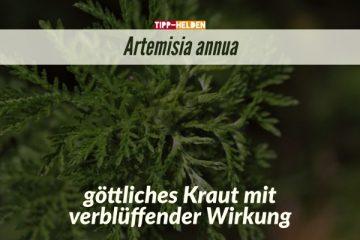 Artemisia annua – göttliches Kraut mit verblüffender Wirkung