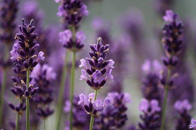 Aromen - Lavendel